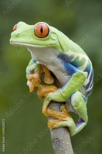 Fotobehang Kikker Red-eyed Tree frog (Agalychnis callidryas) in Rainforest