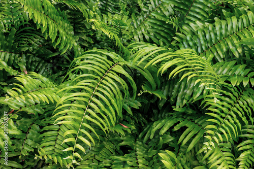 Beautiful fern leaves, green foliage, natural floral fern background in sunlight. View from above. Close up