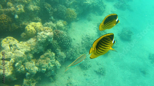 Foto Spatwand Groene koraal Fish of the Red Sea. Multicolored fish swim over the corals