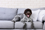 German pointer dog lying on grey sofa - 209266913