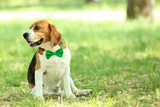 Beagle dog with bow tie sitting in the park - 209268317