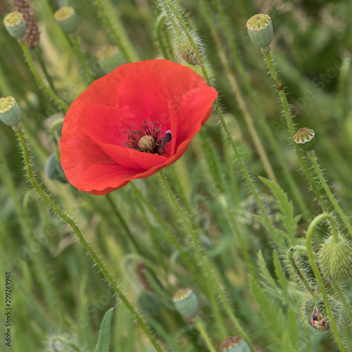 English corn, common, field poppies