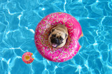 Cute pug dog floating in a pool with a donut flotation device