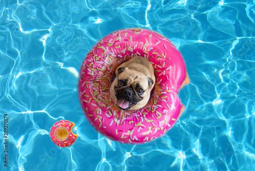 Śliczny mopsa pies unosi się w basenie z pączka flotacyjnym przyrządem