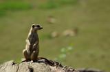 meerkat standing and looking - 209271974