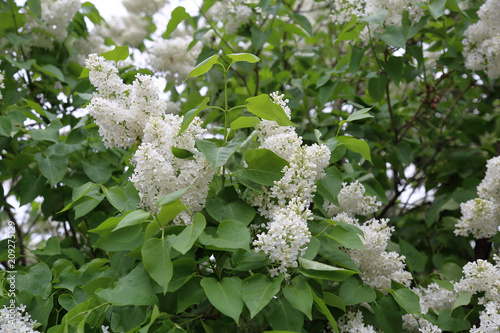 Early blooming white lilac flowers in city park