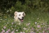 Mischling, Hund in Blumenwiese - 209275931