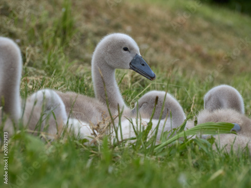 Cygnets taking a rest on the grass