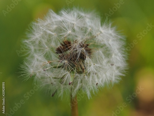 Canvas Paardenbloemen tanpopo watage dandelion white seed