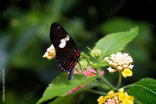 Fotobehang Vlinder Delicate Dance: Perhaps a Pink Cattleheart Butterfly takes a break before moving on.