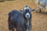 Miniature long haired pet goats with horns in rural farm by zipline tour near Puerto Vallarta Mexico. - 209286971