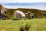 Mature sheep grazing in field near ocean - 209288514