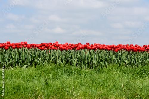 Red tulips grow in field in West Friesland, Netherlands.