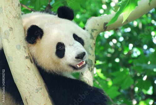 Plexiglas Panda close up on young panda climbing up on the tree