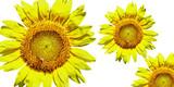 three bright sunflowers