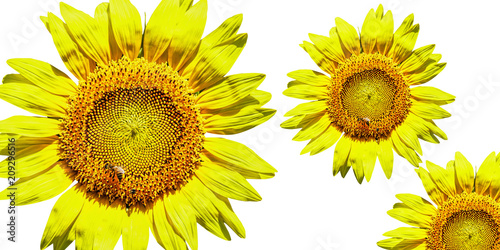 three bright sunflowers