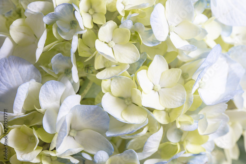 Fotobehang Hydrangea White and Blue Hydrangea Flower Bunch