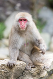 Jigokudani Monkey Park , monkeys bathing in a natural hot spring at Nagano , Japan - 209299573