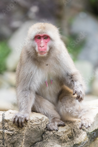 Fotobehang Aap Jigokudani Monkey Park , monkeys bathing in a natural hot spring at Nagano , Japan