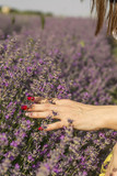 Woman's hand softly touching lavender flowers - 209303326