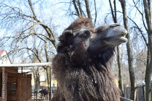 Fototapeta brown camel at the zoo