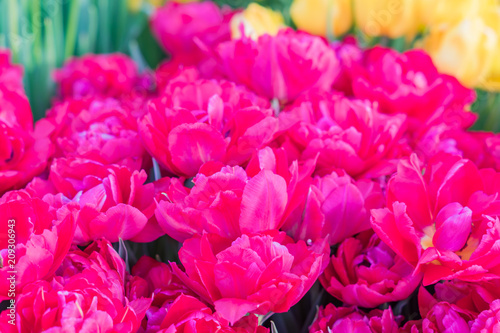 Foto Spatwand Roze field of blooming colorful tulips, spring flowers in the garden
