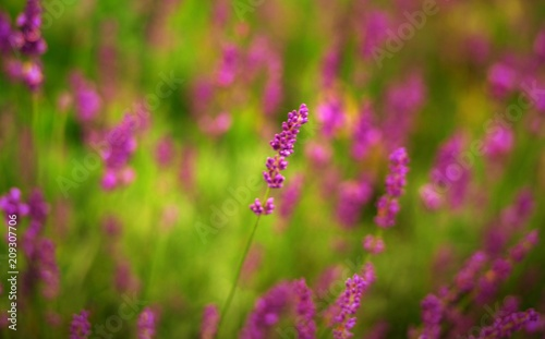 Aluminium Lavendel lavande
