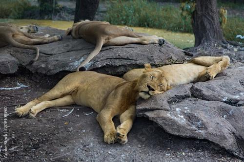Fotobehang Lion Lion and Lioness
