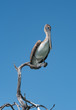 Brown Pelican (Pelecanidae) on a dry branch at the Gulf of Mexico, Yucatan, Mexico