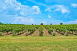 Vineyard and blue sky with clouds - 209312133
