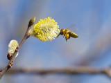 Honigbiene sammelt Nektar auf Blüte04 - 209313941
