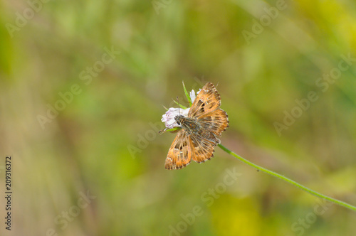 Fotobehang Vlinder Skipper butterfly on flower. The Mallow Skipper - Carcharodus alceae