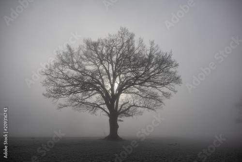 Fototapeta Baum im Nebel mit Sonne auf Feld im Winter