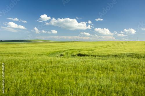 Duże pole jęczmienia i ślady kół