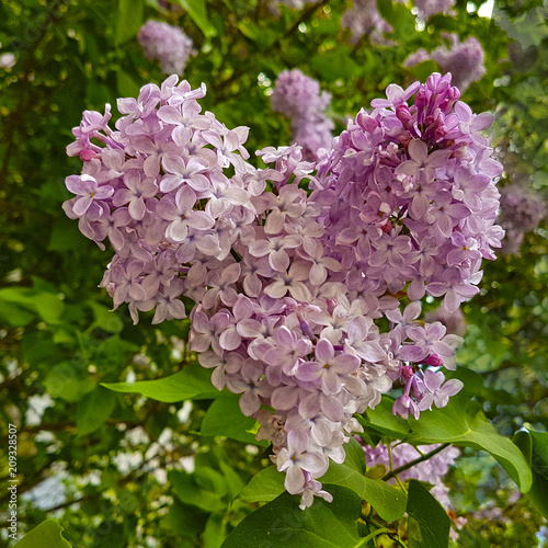 Purple flowers of lilac in the form of a heart