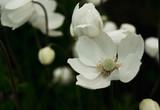 White anemones in garden - 209331520