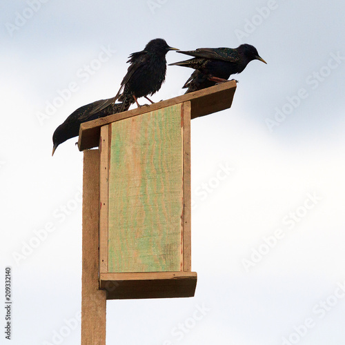 Starlings on a wooden birdhouse