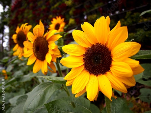 Sunflower plants in a flower garden