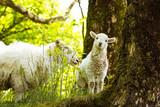 Spring Lamb standing on farmland, looking at the camera - 209350102