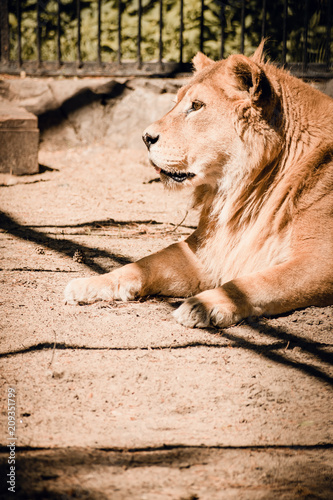 Fotobehang Lion Portrait of a lioness