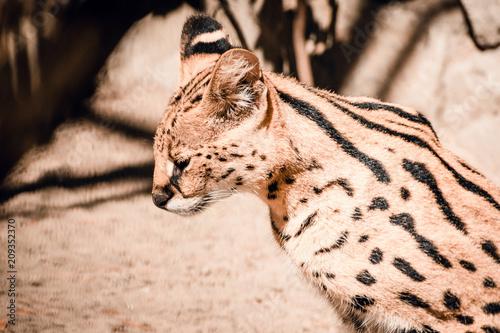 Fototapeta Portrait of Bengal cat