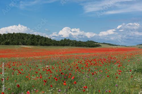 Poppy field Crimea may 2018