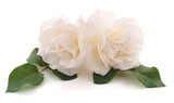 Two white roses. - 209362103