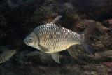 Fish : Yellow eyed silver barb (Hypsibarbus vernayi) - 209364134