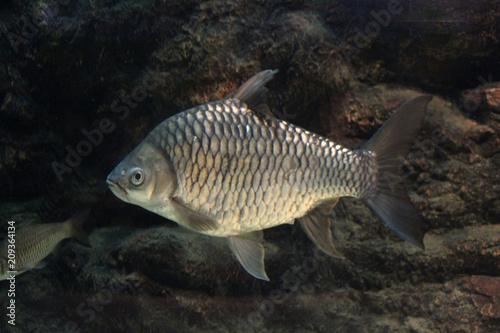 Foto Murales Fish : Yellow eyed silver barb (Hypsibarbus vernayi)