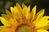 A sunflower (Helianthus) shines in the morning sun.