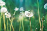 Summer, spring natural floral background. White fluffy dandelions close-up. - 209367929