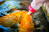 Feeding colorful fancy fish from baby bottle. Koi or Crap fish. - 209368177
