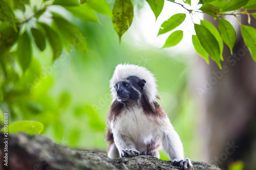 Fototapeta A Cotton-Top Tamarin Monkey on a tree brunch in Singapore Zoo