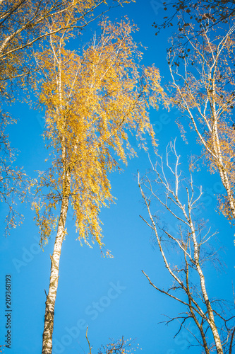 Low angle view on tall birch trees with white trunk and golden leaves against bright blue sky in autumn. Background - 209368193